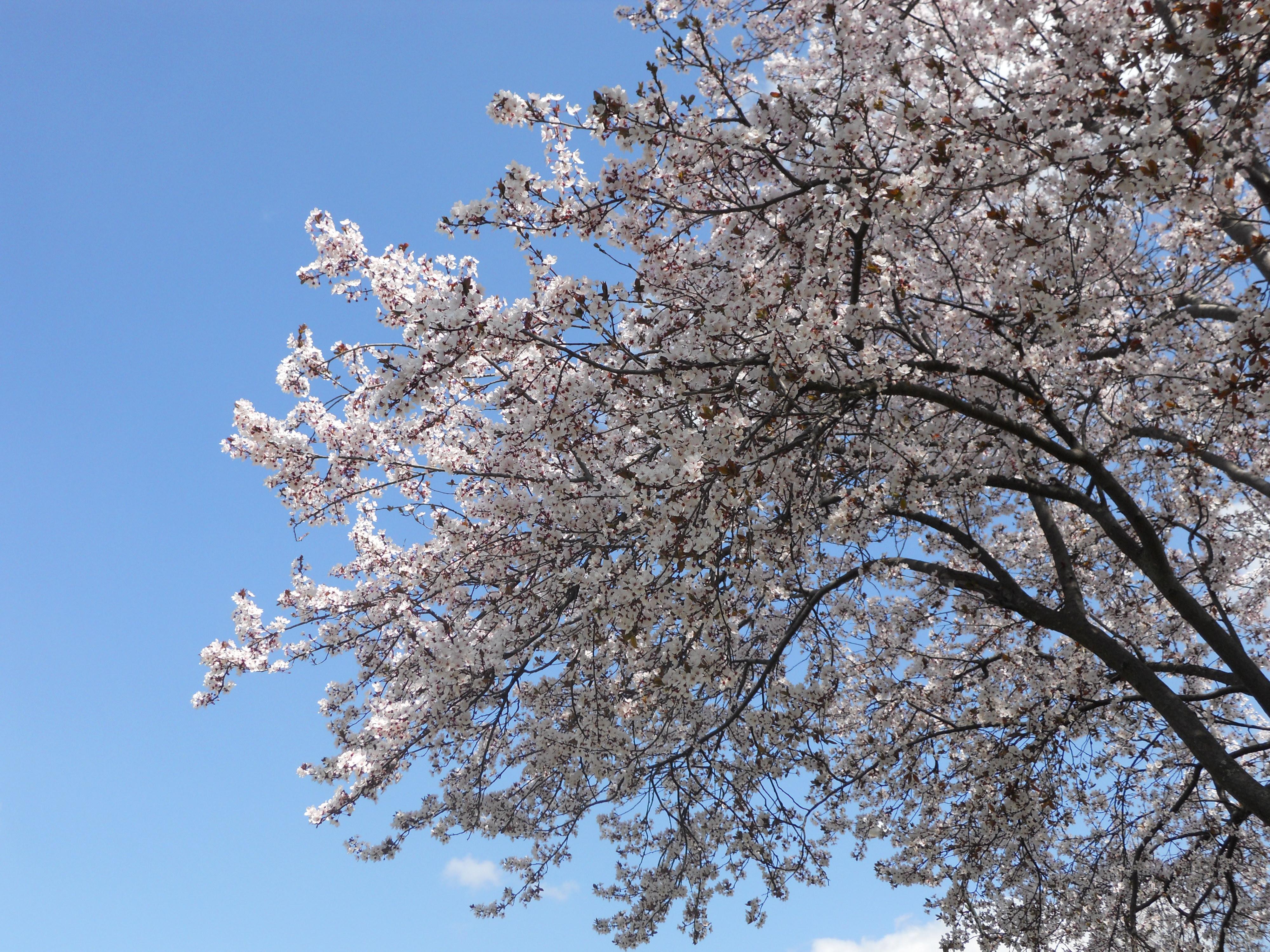 SAKURA EN TOKYO: LUGARES PARA DISFRUTARLO