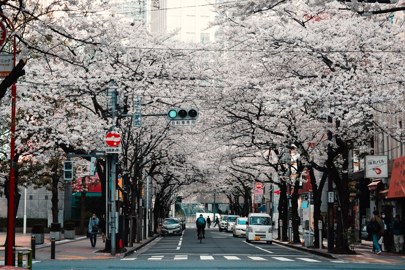 SAKURA EN JAPON: LO MEJOR DE LA PRIMAVERA